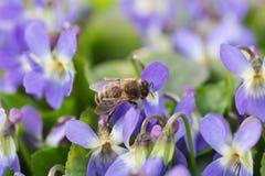 La abeja en la flor Imágenes de archivo libres de regalías