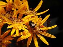La abeja en la flor amarilla Imagen de archivo
