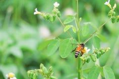 La abeja en la flor blanca que recoge el polen chupa el néctar Imágenes de archivo libres de regalías