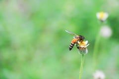 La abeja en la flor blanca que recoge el polen chupa el néctar Foto de archivo