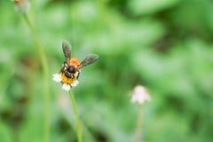 La abeja en la flor blanca que recoge el polen chupa el néctar Fotografía de archivo libre de regalías
