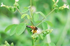 La abeja en la flor blanca que recoge el polen chupa el néctar Imagenes de archivo
