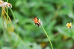 La abeja en la flor blanca que recoge el polen chupa el néctar Fotografía de archivo