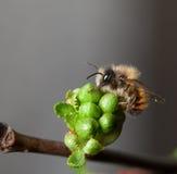 La abeja en la flor brota de cerezo Fotos de archivo
