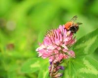 La abeja en la flor del trébol Imágenes de archivo libres de regalías