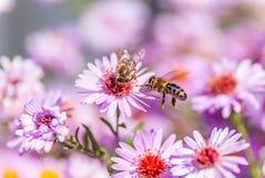 La abeja en la flor púrpura recoge la miel Imágenes de archivo libres de regalías