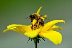 La abeja en la flor recoge el néctar Imagen de archivo