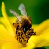 La abeja en la flor recoge el néctar Fotografía de archivo libre de regalías