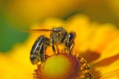 La abeja en la flor recoge el néctar Foto de archivo libre de regalías