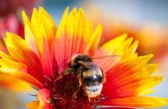 La abeja en la flor recoge el néctar Imágenes de archivo libres de regalías