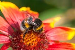 La abeja en la flor recoge el néctar Imagenes de archivo