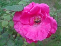 La abeja en la floración subió Fotografía de archivo libre de regalías
