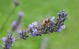 la abeja en la lavanda florece en un jardín público Fotografía de archivo