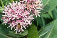 La abeja en la parte inferior del pantano milweed el racimo de flor Imagenes de archivo