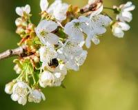 La abeja en las flores blancas del cerezo de Sakura florece en primavera Imagen de archivo