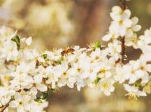La abeja en las flores de cerezo blancas florece el extracto de la primavera de la rama Fotos de archivo