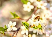 La abeja en las flores de cerezo blancas florece el extracto de la primavera de la rama Imagenes de archivo
