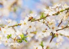 La abeja en las flores de cerezo blancas florece el extracto de la primavera de la rama Imagen de archivo libre de regalías