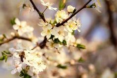 La abeja en las flores de cerezo blancas florece el extracto de la primavera de la rama Fotografía de archivo