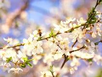 La abeja en las flores de cerezo blancas florece el extracto de la primavera de la rama Imagen de archivo