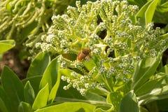 La abeja en las flores, Hawaii Fotos de archivo libres de regalías
