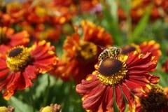 La abeja en las flores rojas recolecta la miel, flores hermosas, troncos verdes Imagen de archivo