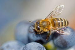 La abeja en las uvas se cierra para arriba Uvas púrpuras de Honey Bee Sucks Nectar From macras Fotos de archivo