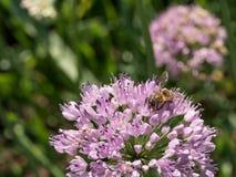 La abeja en los paraguas esféricos grandes de la cebolla salvaje comienza a florecer Foto de archivo