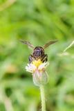 La abeja en los procumbens del tridax se cierra para arriba Imagenes de archivo