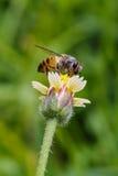 La abeja en los procumbens del tridax se cierra para arriba Imagen de archivo libre de regalías