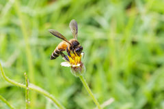 La abeja en los procumbens del tridax se cierra para arriba Imágenes de archivo libres de regalías