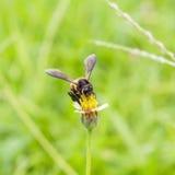 La abeja en los procumbens del tridax se cierra para arriba Foto de archivo libre de regalías
