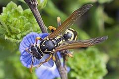 La abeja en la mala hierba florece en la sol Fotografía de archivo libre de regalías