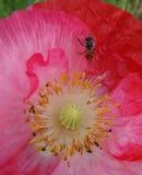 La abeja en opio rojo florece en las hojas verdes Imágenes de archivo libres de regalías