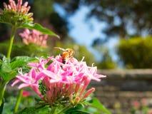 La abeja en Pentas rosado Lanceolata Lucky Star en un verano en un jardín botánico Foto de archivo libre de regalías