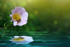 La abeja en rosa salvaje rosada reflejó en el agua Imagen de archivo libre de regalías