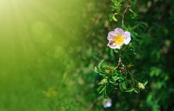 La abeja en salvaje rosado subió Foto de archivo