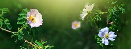 La abeja en salvaje rosado subió Fotografía de archivo