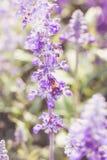 La abeja en salvia azul florece en el jardín Profundidad del campo baja Fotografía de archivo libre de regalías