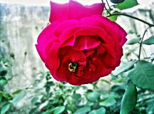 La abeja en se levantó Fotos de archivo libres de regalías