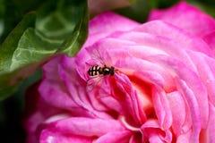 La abeja en se levantó Imágenes de archivo libres de regalías