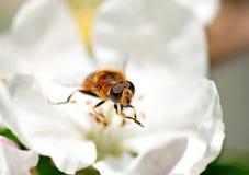 La abeja en subió Fotografía de archivo libre de regalías