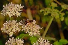 La abeja en un blanco hogweed la flor, foco selectivo Imágenes de archivo libres de regalías