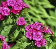 La abeja en un polemonio rosado brillante recoge el néctar Fotos de archivo