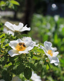 La abeja en un salvaje subió Imagen de archivo libre de regalías