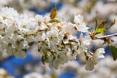 La abeja en una cereza florece Fotografía de archivo