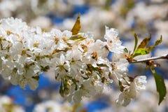La abeja en una cereza florece Fotografía de archivo libre de regalías