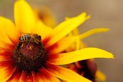 La abeja en una flor cultivada amarillo recoge el néctar Foto de archivo libre de regalías