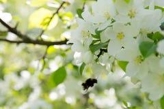 La abeja en una flor de la manzana blanca florece Fotos de archivo