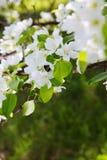 La abeja en una flor de la manzana blanca florece Foto de archivo